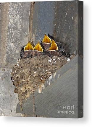 Swallow Chicks Canvas Prints