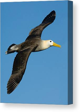 Albatross Canvas Prints