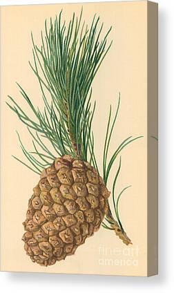 Pine Needles Drawings Canvas Prints