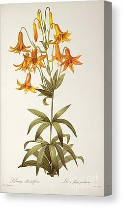 Lilium Penduliflorum Canvas Prints