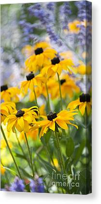 Abstracted Coneflowers Photographs Canvas Prints