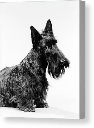 Scottish Dog Photographs Canvas Prints