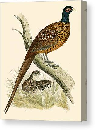 Pheasant Canvas Prints