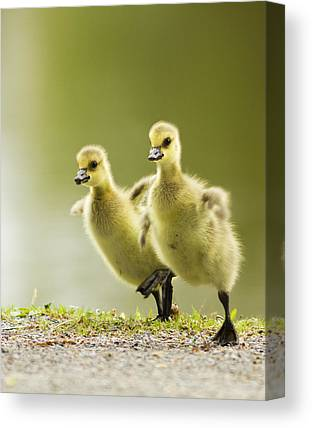 Canada Goose Canvas Prints