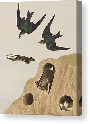 Swallow Canvas Prints