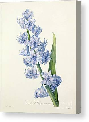 Hyacinths Canvas Prints