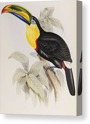 Toucan Drawings Canvas Prints
