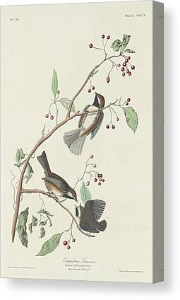 Titmouse Drawings Canvas Prints
