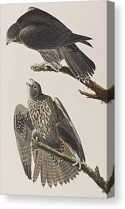 Falcon Paintings Canvas Prints