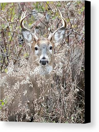 White Tailed Deer Photographs Limited Time Promotions