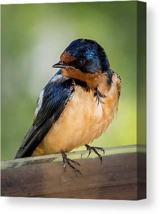 Baby Swallows Canvas Prints