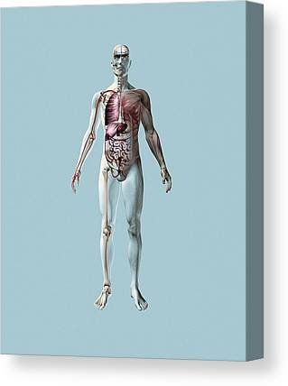 Musculoskeletal System Canvas Prints
