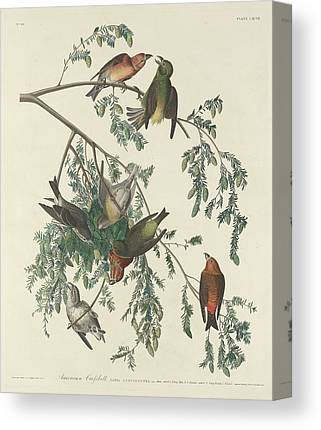 Crossbill Drawings Canvas Prints
