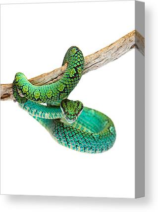 Poisonous Snakes Canvas Prints