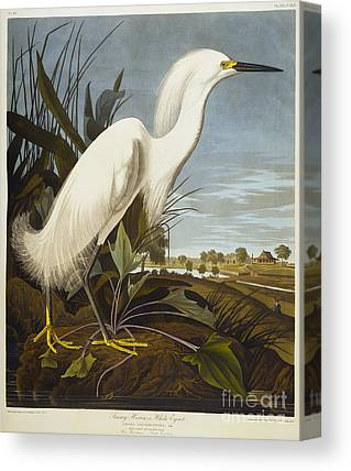 Snowy Egret Canvas Prints