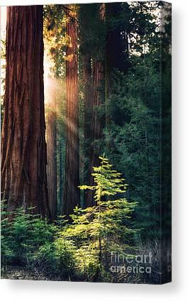 Sequoia National Park Canvas Prints
