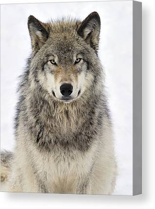 Gray Wolf Canvas Prints