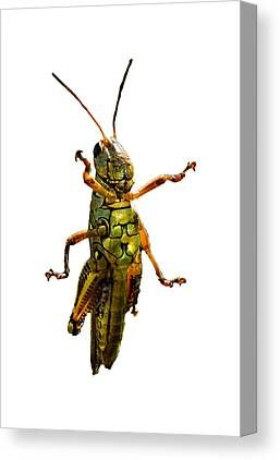 Grasshopper Canvas Prints
