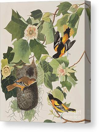 Oriole Drawings Canvas Prints