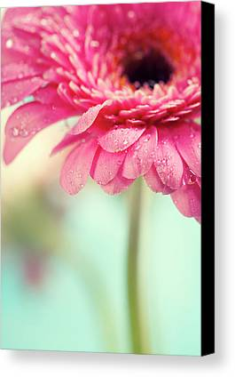 Gerber Daisy Limited Time Promotions