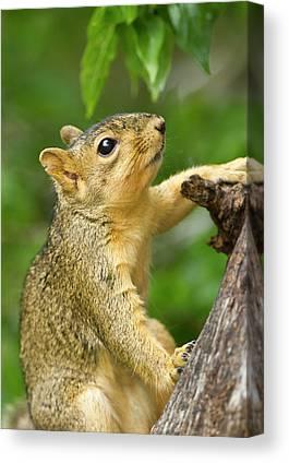 Eastern Fox Squirrel Canvas Prints