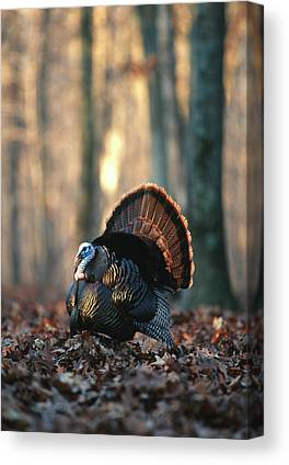 Eastern Wild Turkey Photographs Canvas Prints