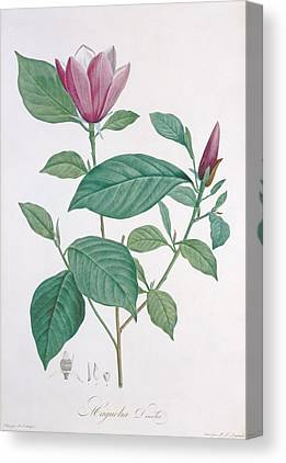 Magnolia Flower Drawings Canvas Prints