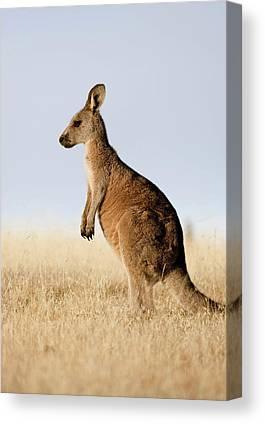 Eastern Grey Kangaroo Canvas Prints