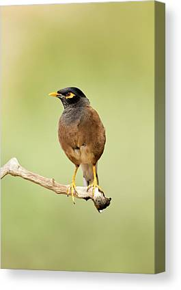 Common Myna Canvas Prints