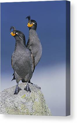 Auklets Canvas Prints