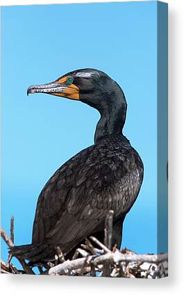 Phalacrocorax Auritus Canvas Prints