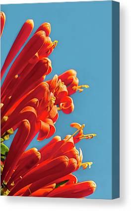 Pyrostegia Venusta Canvas Prints