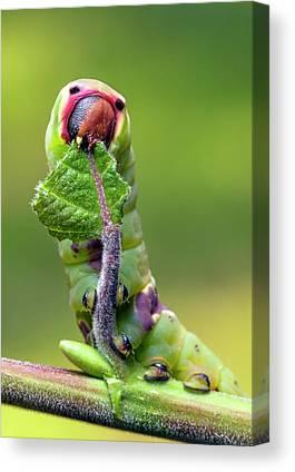 Puss Caterpillar Canvas Prints