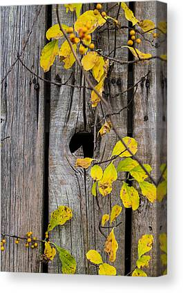 Celastrus Scandens Canvas Prints