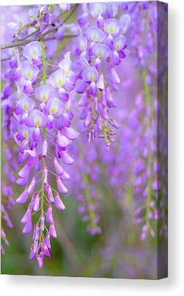 Wisteria In Bloom Canvas Prints