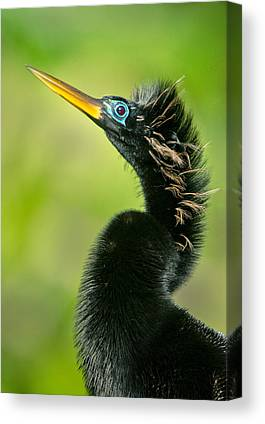 Anhinga Canvas Prints
