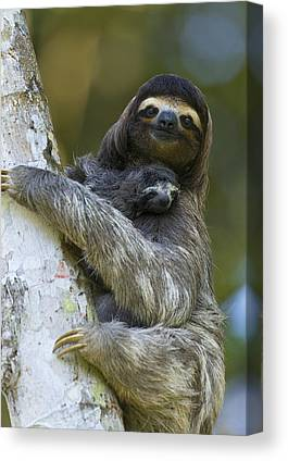 Brown-throated Three-toed Sloth Canvas Prints