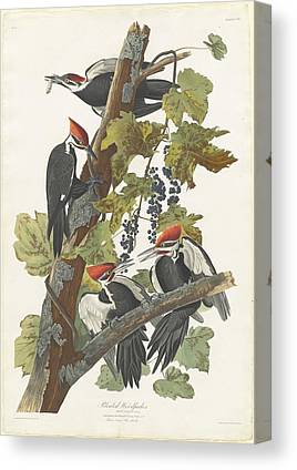 Woodpecker Drawings Canvas Prints