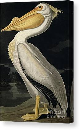 Audubon Canvas Prints