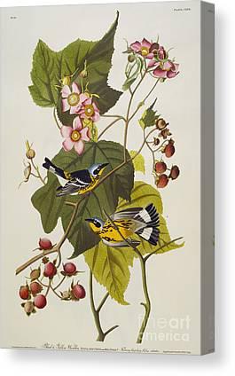 Warbler Canvas Prints
