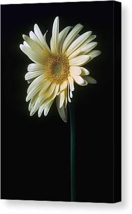 Gerber Daisy Canvas Prints