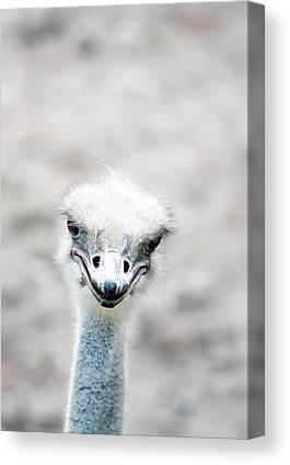 Ostrich Canvas Prints