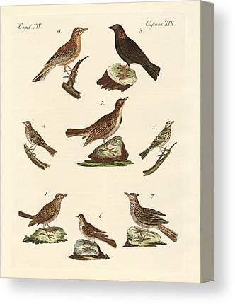 Meadowlark Drawings Canvas Prints