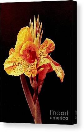 Canna Lilly Stretched Canvas Prints