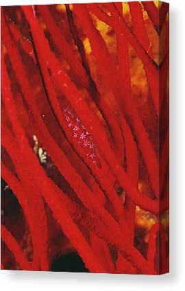 Cypraeidae Canvas Prints