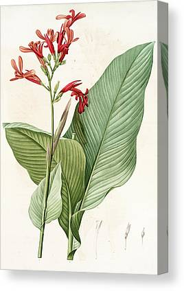 Canna Drawings Canvas Prints