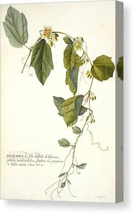Passiflora Paintings Canvas Prints