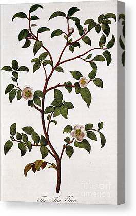 Camellia Drawings Canvas Prints