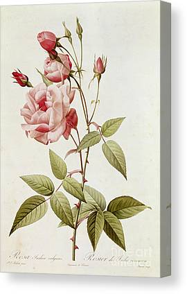 Rosa Indica Vulgaris Canvas Prints