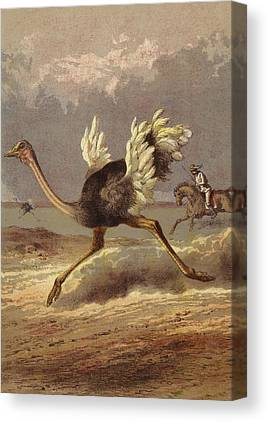 Ostrich Drawings Canvas Prints